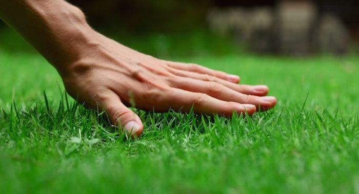 Газонная трава, засеянная на участке